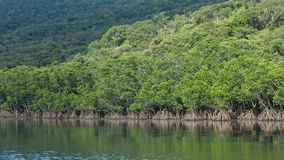 Lush green mangrove jungle river, tropical Japan Stock Photography