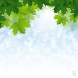 Lush green maple leaves against the blue sky. Royalty Free Stock Photo