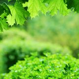Lush green maple leaves Stock Photo