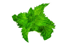 Lush and green mint. Leaves on white background Royalty Free Stock Image