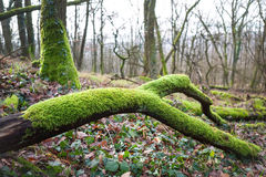Lush green moss on branch Stock Photography