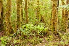 Lush green NZ fern tree rainforest wilderness Stock Images