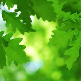 Lush and green oak leaves background Royalty Free Stock Images