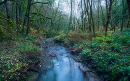Lush green Oregon forest with a river. Lush green Oregon forest with trees covered in moss and a small river streaming stock images