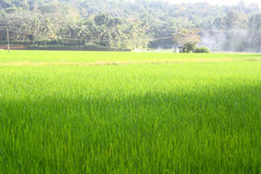 Lush Green Paddy Field Stock Photo