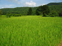 Lush green paddy field Stock Photos