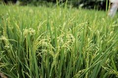 Lush Green Paddy Field Royalty Free Stock Photo