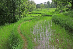 Lush green paddy fields &  rice cultivation. Lush green rice fields and cultivation Royalty Free Stock Photos
