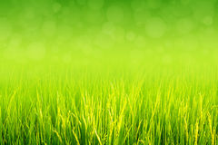Lush green paddy in rice field. Spring and Summer Background. Lush green paddy in rice field with bokeh abstract spring and summer background. Top negative space stock photography