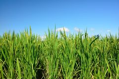 Lush green paddy in rice field. Spring and Autumn Background Stock Photo
