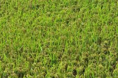 Lush green paddy in rice field. Spring and Autumn Background Stock Image