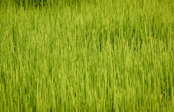 Lush green paddy in rice field. Spring Stock Photos