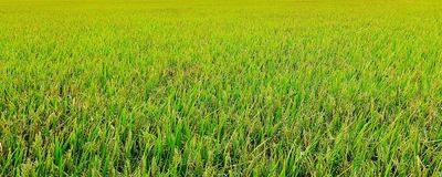 Lush green paddy in rice field. Spring and Summer Background Royalty Free Stock Images