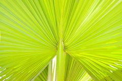 Lush green palm leaf Royalty Free Stock Photos