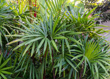 Lush green palm leaves Stock Photo