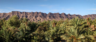 Lush green palms in front of mountain range. In the moroccan desert Royalty Free Stock Images