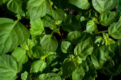 Lush Green Patchouli Plant Leaves Stock Photography