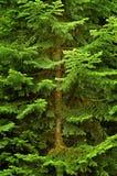 Lush Green Pine Tree Royalty Free Stock Image
