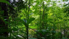 Lush Green Plants With Beautiful Flowing River in the Background Surrounded By Forest Trees in Summer.  Viewpoint From Greenery