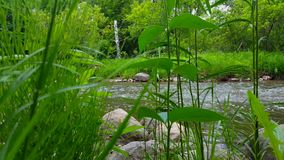 Lush Green Plants With Beautiful Flowing River in the Background Surrounded By Forest Trees in Summer.  Viewpoint From Greenery. River Shore Inside Woodland stock footage