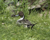 Lush green resting place. Duck sitting in the spring grass Royalty Free Stock Photography