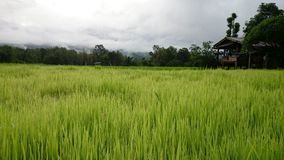 Lush green rice. Lush drop on Green rice with hut, paddy field somewhere in Thailand, landscape, wallpaper, background, cloud, agriculture, rural, drop, farm royalty free stock image