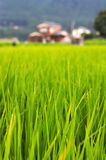 Lush green rice field background Royalty Free Stock Images
