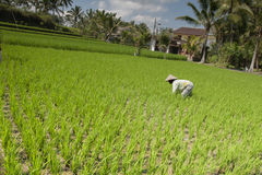 Lush green rice field Royalty Free Stock Images