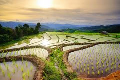 Lush green rice field. Chiang Mai. Thailand. Royalty Free Stock Image