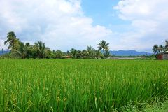 Lush and Green Rice Field with Palm Trees Royalty Free Stock Photos