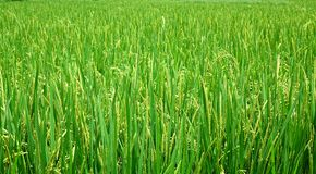 Lush and Green Rice Field Royalty Free Stock Photography