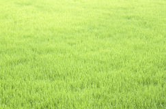 Lush green rice Royalty Free Stock Photography