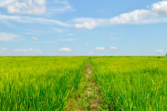 Lush green rice fields with clouds and sky. Royalty Free Stock Photography
