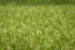 Lush green rice fields. Farming season, farmers grow rice green Royalty Free Stock Image