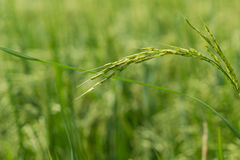 Lush green rice fields. Farming season, farmers grow rice green Royalty Free Stock Photography