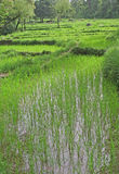 Lush green rice fields & paddy cultivation. Lush green rice fields and cultivation royalty free stock image