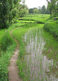 Lush green rice fields & paddy cultivation Royalty Free Stock Images