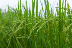 Lush green rice fields, small plots cultivated Royalty Free Stock Images