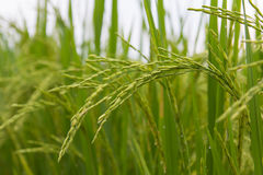 Lush green rice fields, small plots cultivated Stock Photos