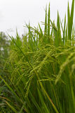 Lush green rice fields, small plots cultivated Stock Photography