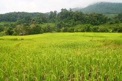 Lush green rice fields, small plots cultivated by  Royalty Free Stock Photo