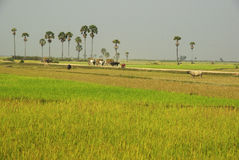 Lush green rice paddies with palm trees in Cambodi. Scenic rice paddy field with sugar palm trees in the background and three ox carts, rural landscape in Stock Image