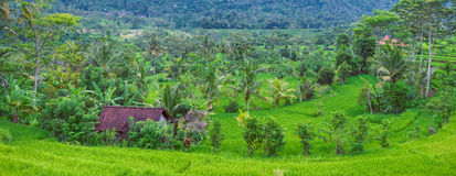 Lush green Rice tarrace and an Hut in Sidemen, Bali, Indonesia. Lush green Rice tarrace and an Hut in Sidemen. Bali, Indonesia Royalty Free Stock Photos