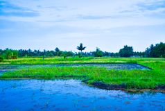 Lush green rice terrace field with water irrigation in South East Asian blue sunset stock image