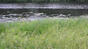 Lush green sedge, reed and grass in front of pond, river or lake. Lush green sedge, reed and grass swaying blown by wind in front of a pond, river or lake stock video footage