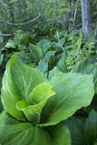 Lush green skunk cabbage in forest Stock Photos