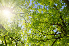 Lush green spring branches of oak tree. With sunlight. Nature background Stock Photo