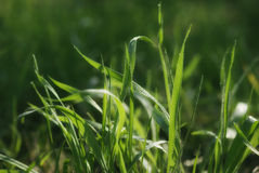 Lush green spring grass Royalty Free Stock Photos