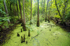 Lush green swamp and tropical forest scene. Mossy and green lush swamp in a beautiful tropical forest. The sun is peaking through the thick foliage to reveal a Stock Photography