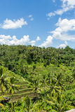 Lush green terraced farmland in Bali Stock Image